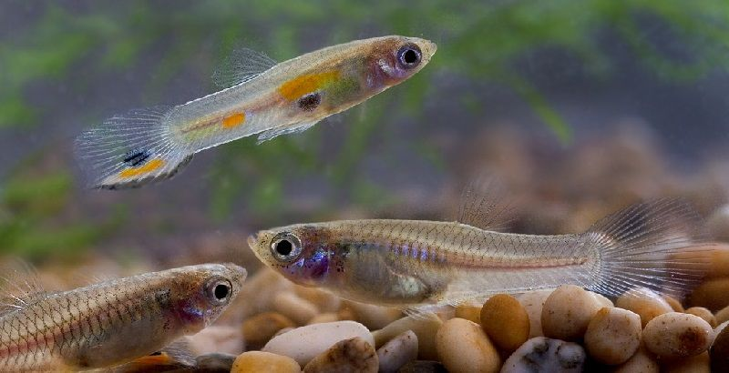 Ikan gupi perak populer sebagai ikan pemakan jentik nyamuk