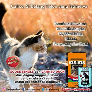 Calico Si Belang Telon Yang Istimewa Raja Petshop